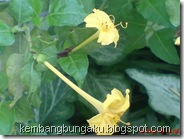 bunga pukul 4 kuning 2292