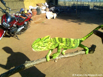Picture of Chameleon