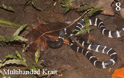 Multibanded Krait Bungarus Multicinctus