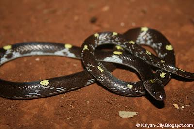 Lycodon Flavomaculatus