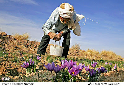 Collecting Saffron Kesar Flowers