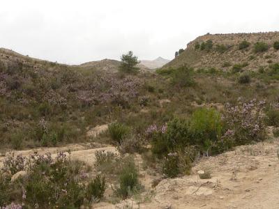 Erica multiflora el brezo alicante forestal - El tiempo en muchamiel ...