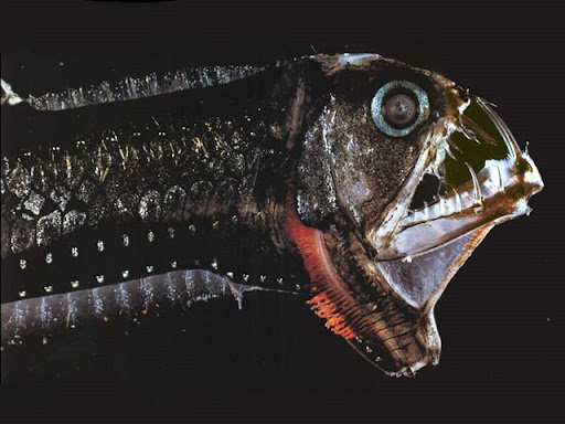 Salah satu ikan predator ganas lainnya adalah Viperfish