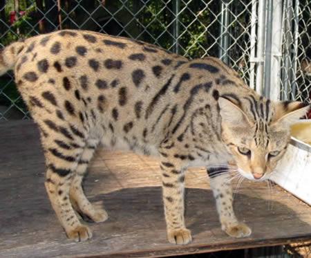 Foto Foto Buka Gambar Foto Kucing Bengal Alam Kucing Bu
