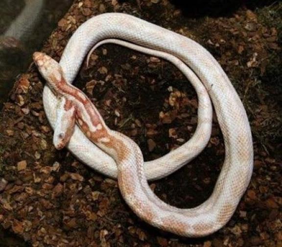 ular kepala dua 13 Kumpulan Ular Berkepala Dua di Seluruh Dunia