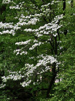 Flowering Dogwood (Cornus florida)