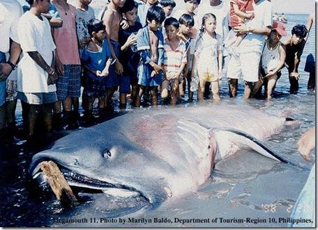 Megamouth Shark Philippines