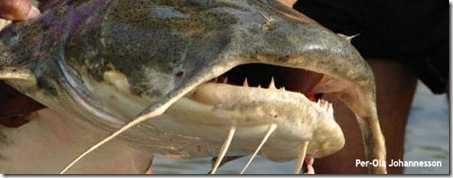Monster Goonch Catfish