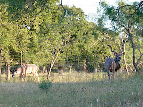 Antelopes in Texas