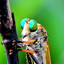Robberfly by Yusop Sulaiman - Animals Insects & Spiders