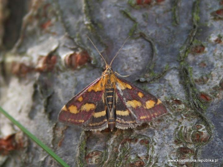 Omacnica Purpurowa (Pyrausta purpuralis)