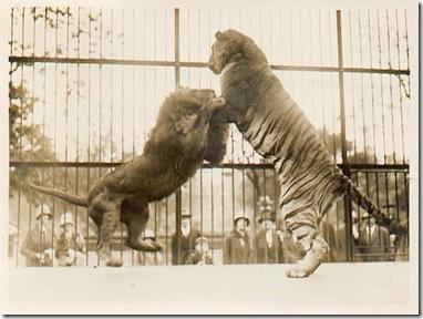 lionvtiger