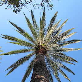 up palm by Gregory Smith - Nature Up Close Trees & Bushes ( sky, tree, florida, outdoors, summertime )