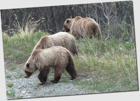 Grizzly bears visiting us in Denali Natl Park