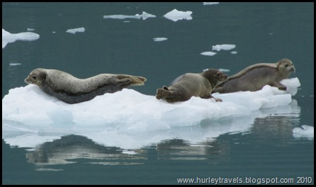 Harbor seals lounging on the ice.