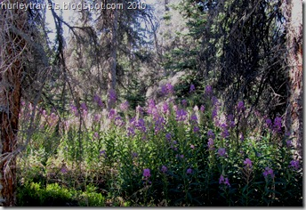 The Fireweed was beautiful among the pine and spruce trees at the Congdon Campground.