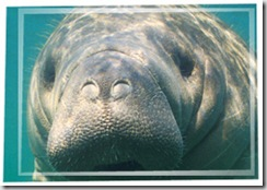 Hello you handsome guy.  Aren't manatees photogenic?