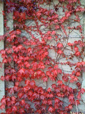 red-ivy.jpg