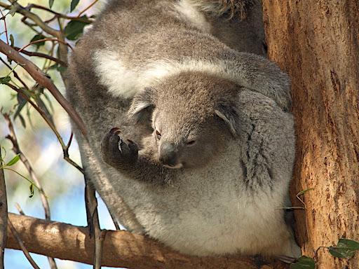 bush babies as pets. animals cute ush babies carry