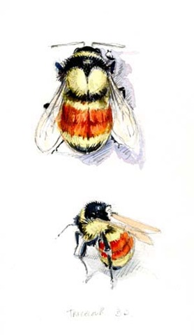 tatoo lady bumble bees. tatoo lady bumble bees. Bee number 2: The Tricoloured