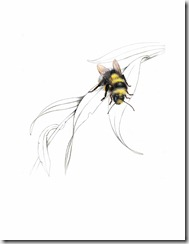 White Tailed Bumble Bee, Bombus lucorum