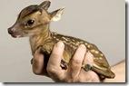 tiny-baby-deer