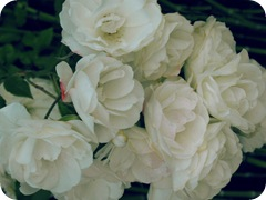 gmas roses
