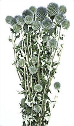 echinops mirsky