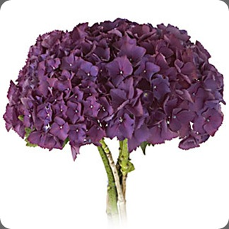 Bottstein_Purple