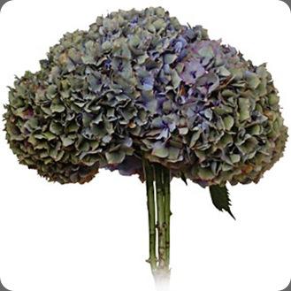 Hydrangea_bluegreen