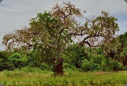 uganda_5_9sausage tree visual geography.com nana bjornlund