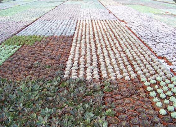 20100321073 sorenson greenhouses (canada) succulent farm Floral Verde