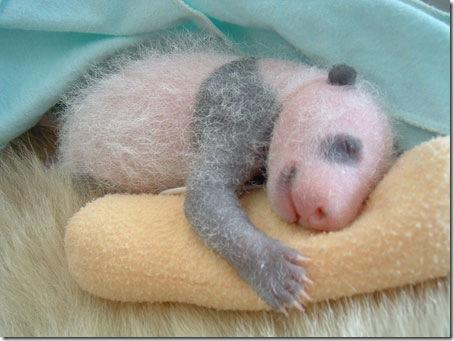 baby_panda (6)