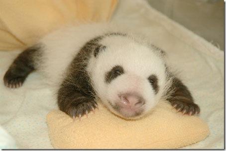 baby_panda (11)