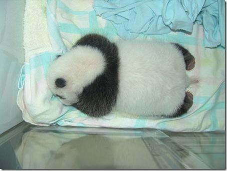 baby_panda (14)