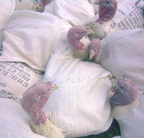 Así es como los pavos esperan en los mercados su muerte en Navidad.