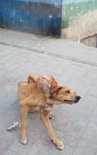 Perrito con tumor. Se le tuvo que hacer la eutanasia ya que el cáncer había avanzado demasiado y comprometido órganos internos.