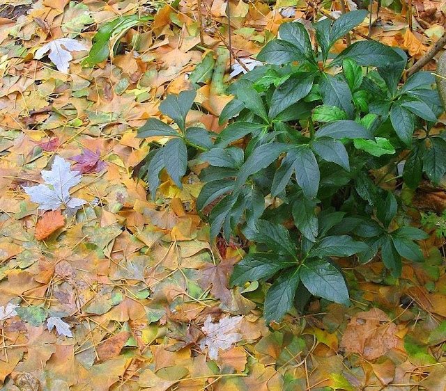 Hellebore orientalis and downed Ginkgo and Acer Leaves  11/15/09