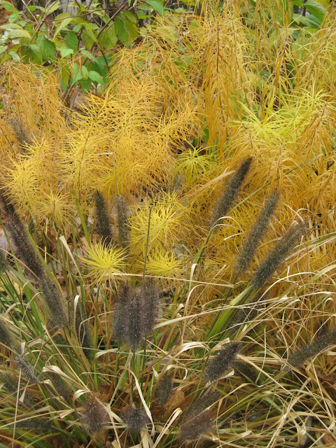 Pennisetum Moudry and Amsonia Hubrechtii  in mid Nov.