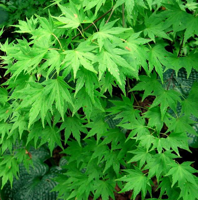 Acer palmatum Orange Dream,Hostas