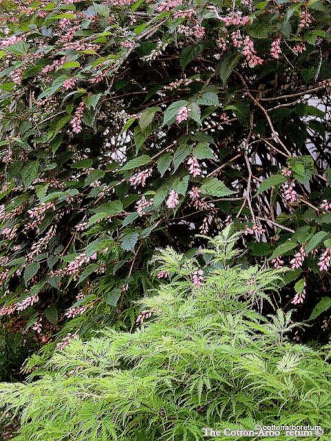 Neillia, Acer dissectum Filigree