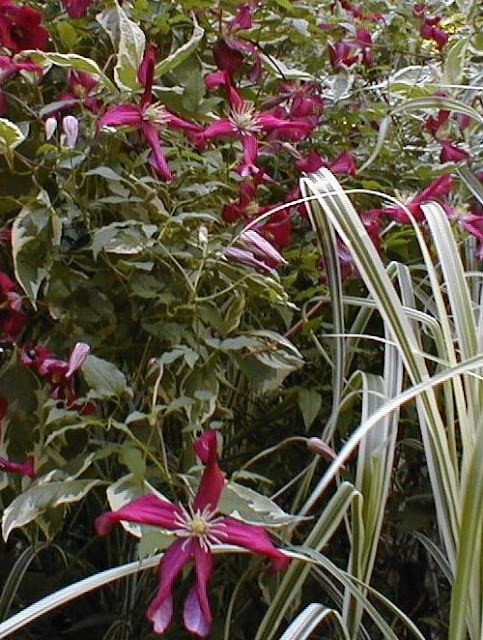clematis mme. marie corevon growing through weigela varieg.                                      photo by alison conliffe