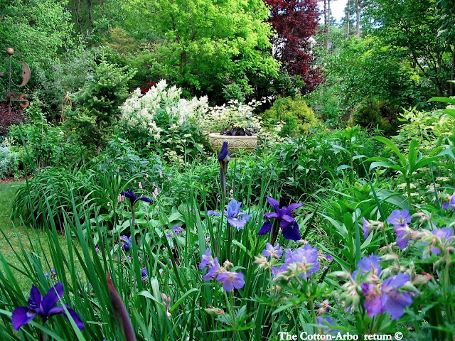 Siberian Iris looking back to Sorbaria, Acer Negundo Kelly's Gold and Purple Leaf Plum