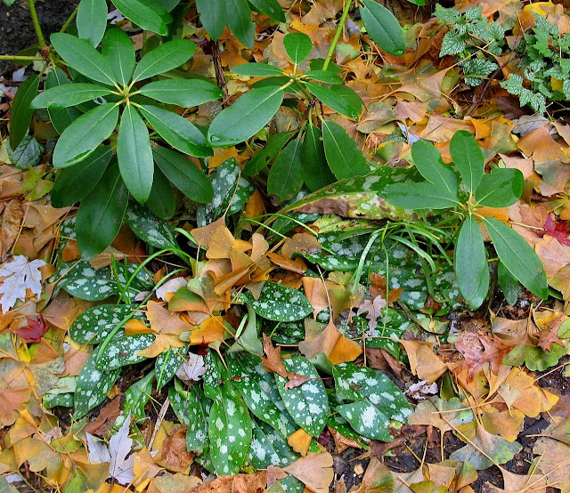 Comfort of green as the season ends 11/15/09; Pulmonaria, Rhododendron, Lamiastrum amid fallen Ginkgo leaves