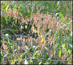 Chasmanthium_latifolium_darke_e.jpg
