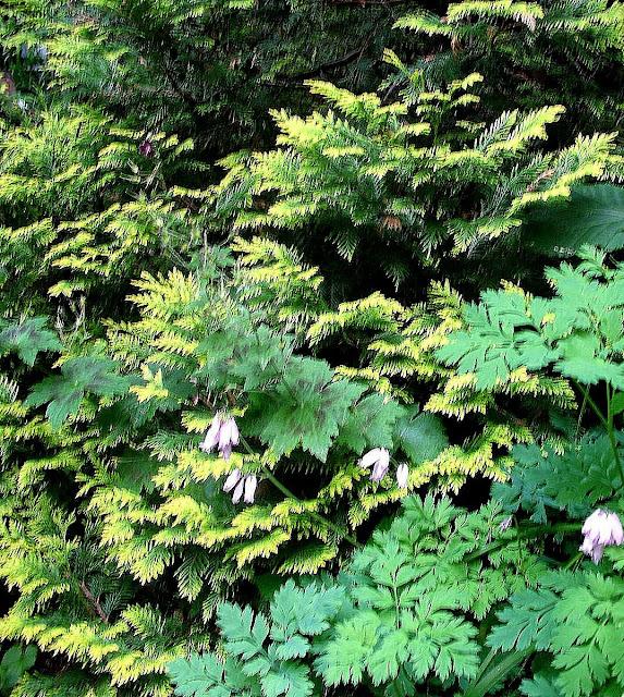 Chamaecyparis, Dicentra, Geranium Samobor