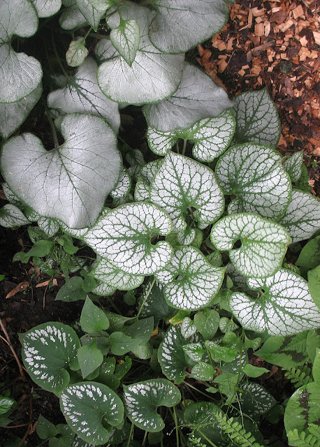 Brunnera: Looking Glass , Jack Frost, Emerald Mist