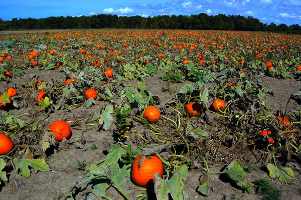 A FIELD OF PUMPKINS AWAITING HALLOWEEN
