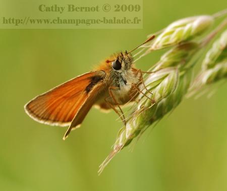 photo-papillon-orange-hesperie-dactyle-graminee-macro-lepidoptere-recadrage
