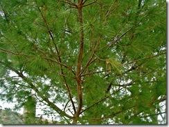 pinetreelimbexamplecloser